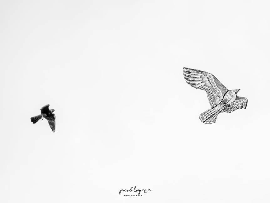 Halcón Aplomado Falco femoralis ¿ Un vuelo de desespera?